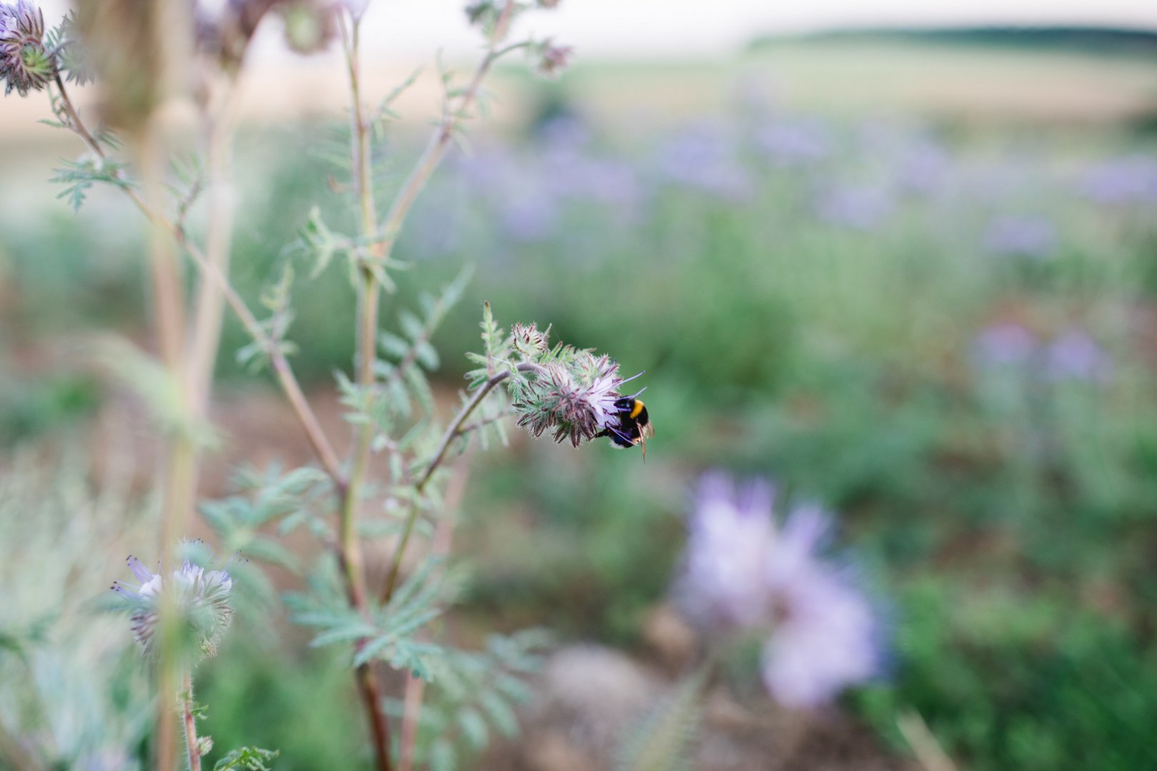 Flower Plant Bumblebee Grass Honeybee Flowering plant Membrane-winged insect Bee Spring Insect Wildflower Pollinator Wildlife Pollen Forb Plant stem Ironweed