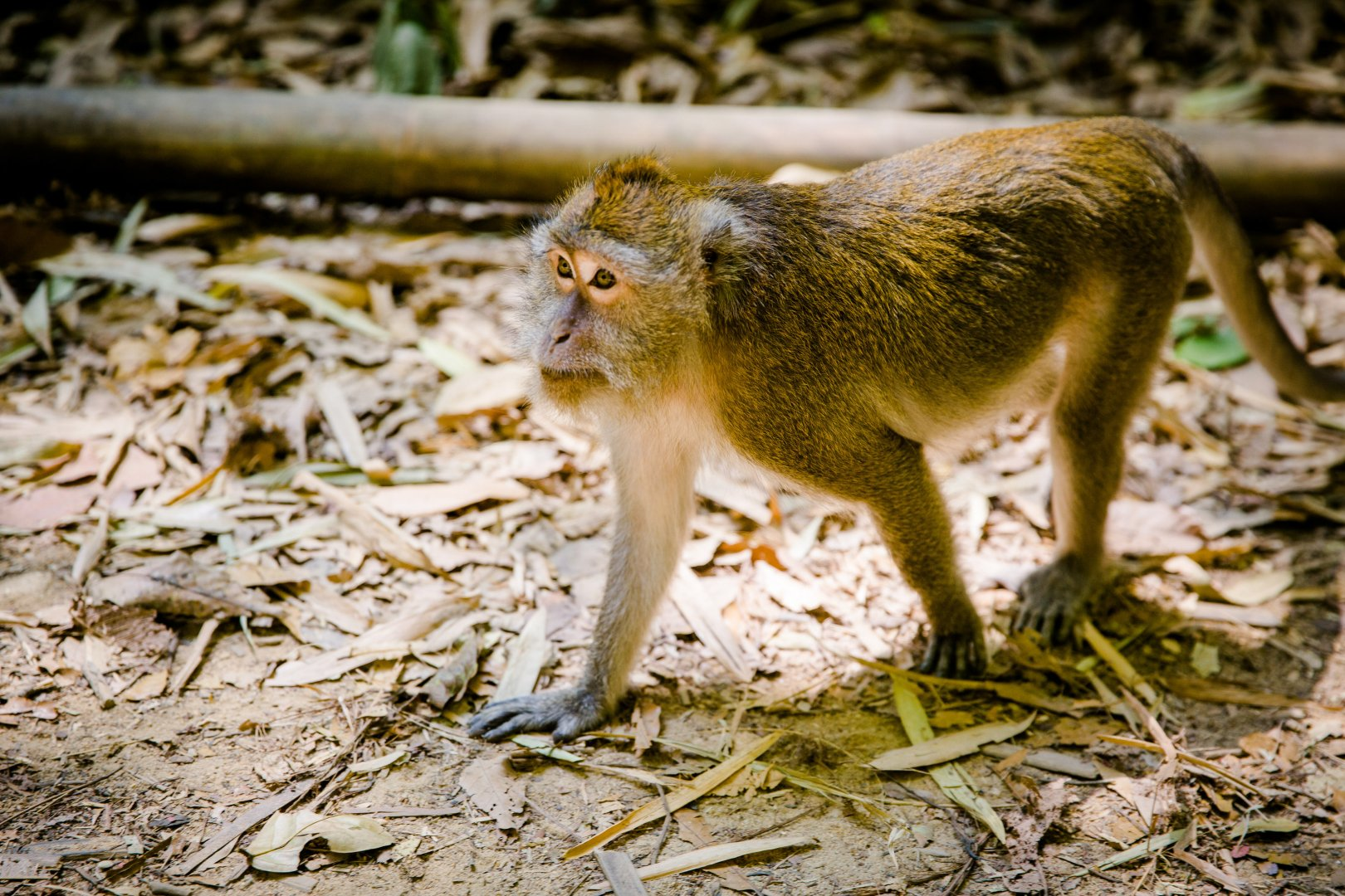 Vertebrate Mammal Wildlife Macaque Old world monkey Terrestrial animal New World monkey Primate Adaptation Snout Organism Fawn Tail Zoo Plant patas National park Fur Forest