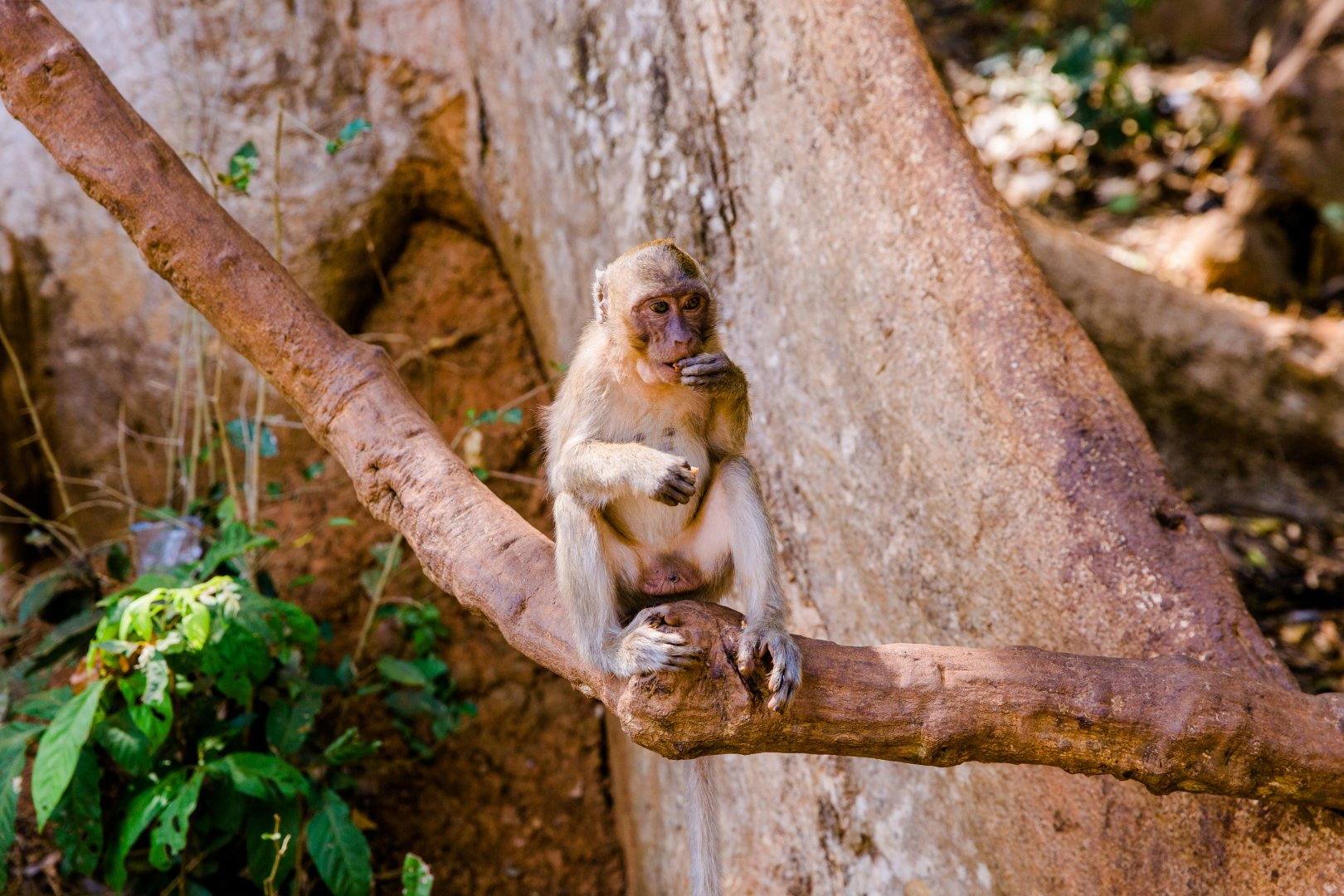 Macaque Primate Wildlife Old world monkey New World monkey Tree Terrestrial animal Organism Branch Zoo Plant Trunk Fawn Jungle Tail National park Plant stem