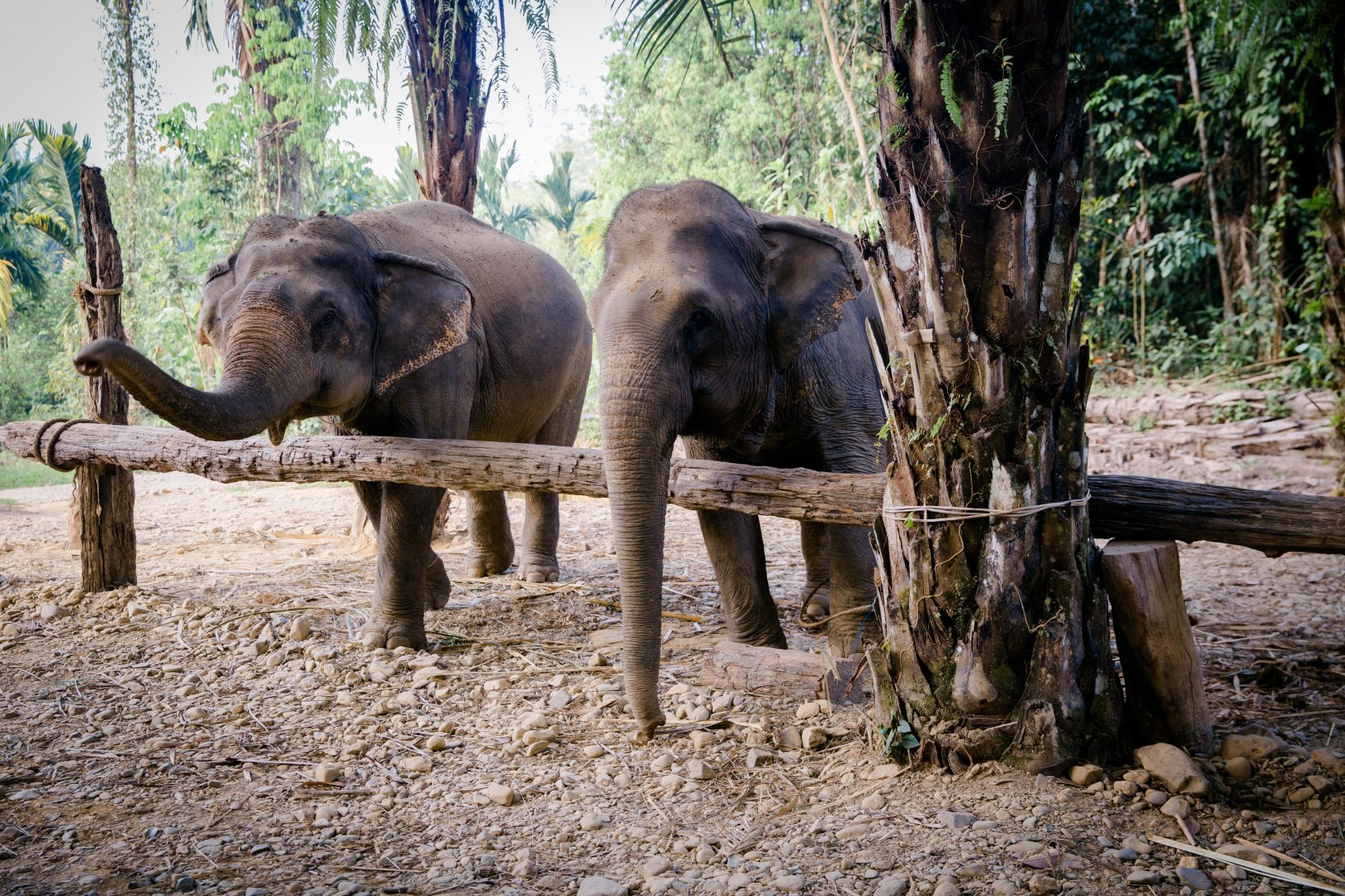 Elephants and Mammoths Terrestrial animal Indian elephant Wildlife Nature reserve Zoo African elephant Tusk Jungle Tree Snout Working animal National park Adaptation Forest Plant Trunk Woodland