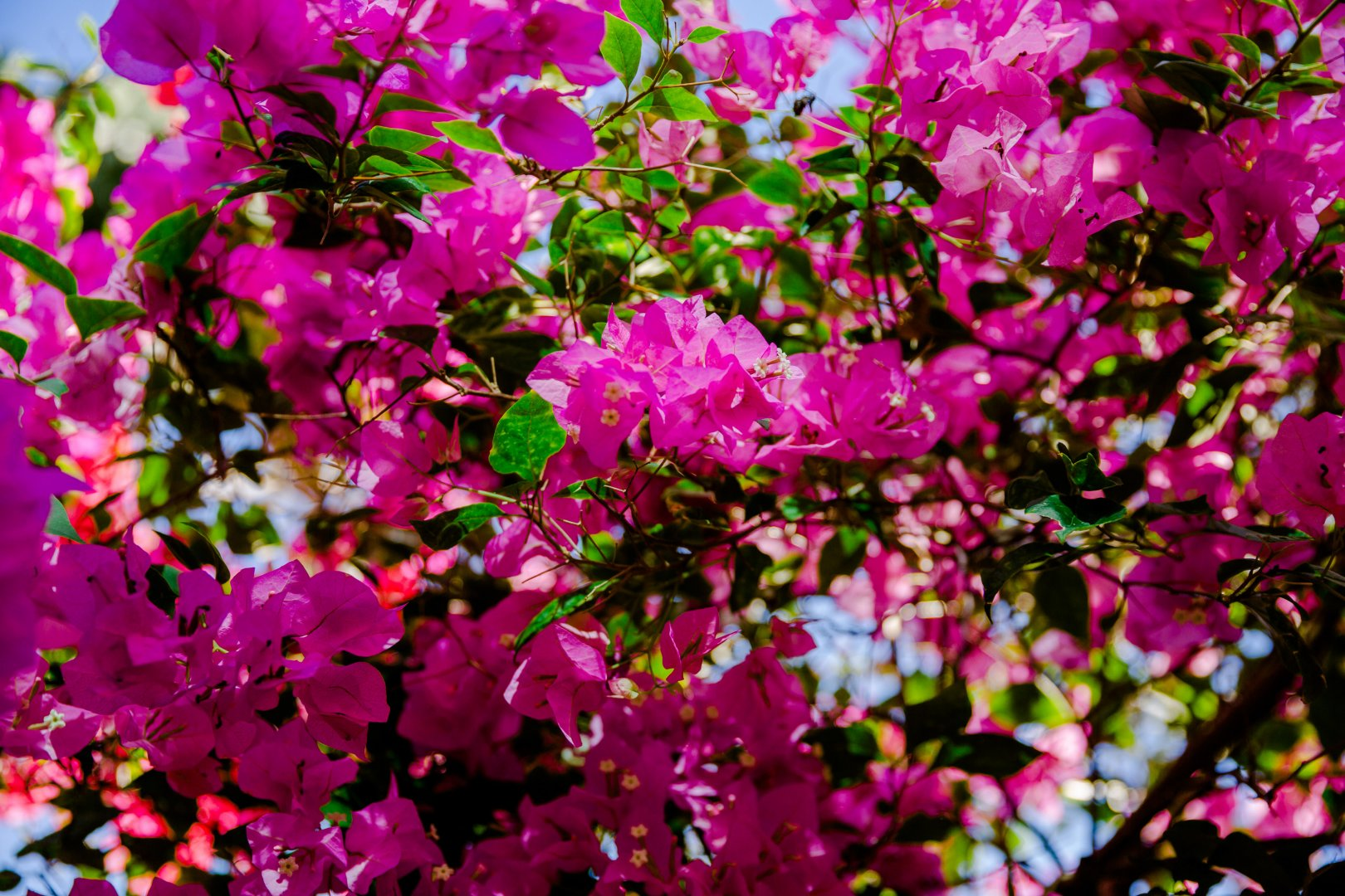 Flower Plant Pink Bougainvillea Petal Flowering plant Magenta Spring Tree Branch Annual plant Shrub Groundcover Loosestrife and pomegranate family Blossom Dianthus Pink family Wildflower Four o'clock family Rhododendron Perennial plant
