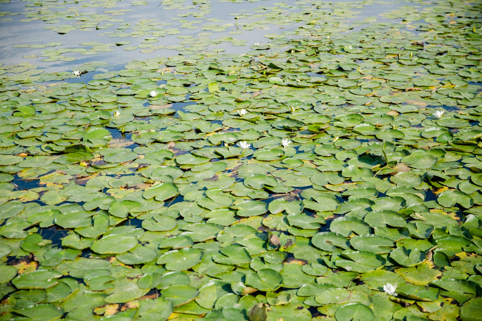fragrant white water lily Aquatic plant Flower Vegetation Plant water lily Pond Leaf Groundcover Water Annual plant Lotus family Flowering plant Swamp Wetland Herb Water caltrop