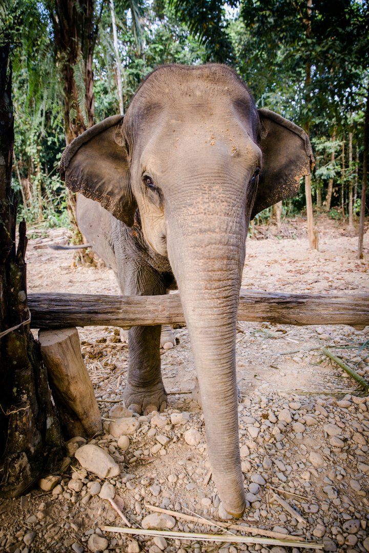 Elephants and Mammoths Mammal Indian elephant Vertebrate Terrestrial animal Wildlife African elephant Tusk Nature reserve Working animal Zoo Snout Tree Temple Jungle Grass Adaptation Plant Trunk National park Fawn Forest