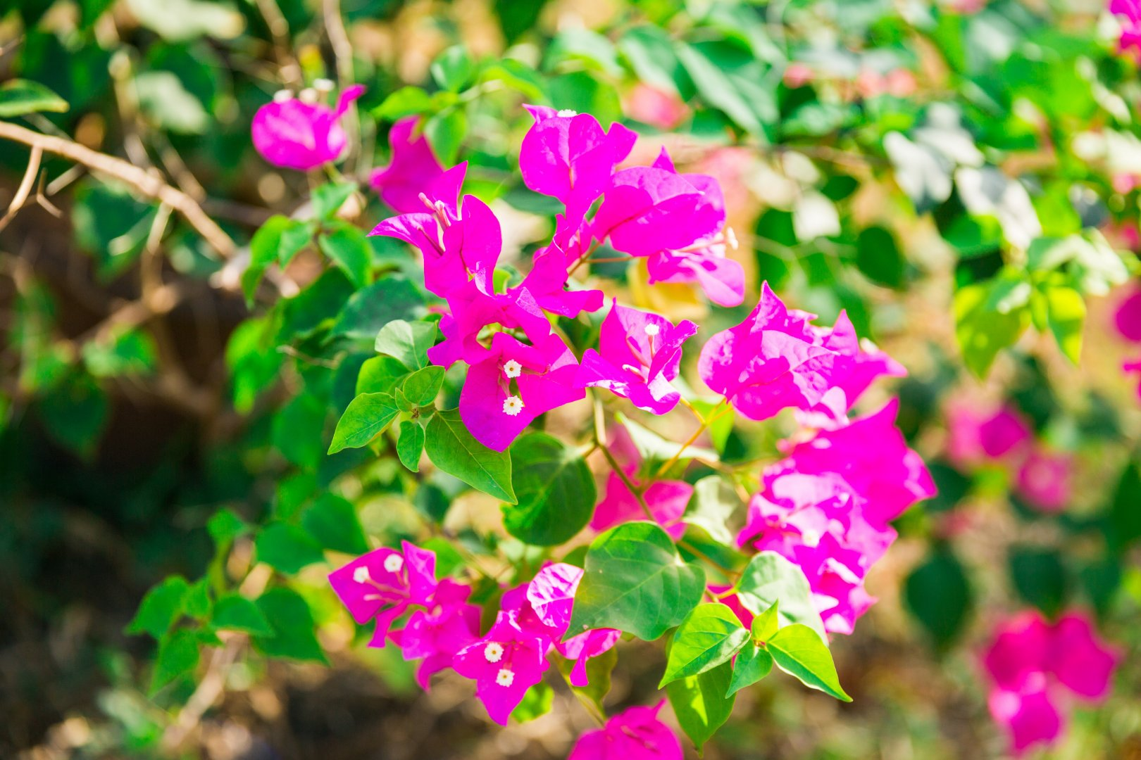 Flower Flowering plant Petal Plant Pink Magenta Bougainvillea Wildflower Dianthus Groundcover Annual plant Pink family Four o'clock family Loosestrife and pomegranate family Perennial plant