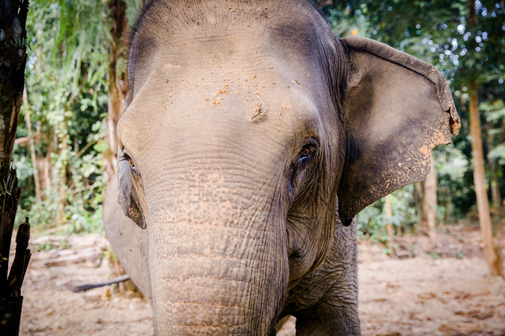 Elephants and Mammoths Terrestrial animal Indian elephant Vertebrate Mammal Wildlife African elephant Skin Snout Nature reserve Wilderness Organism Zoo Adaptation Eye Tusk Tree Working animal Temple Jungle Grass National park Safari Photography Wrinkle Landscape Forest Plant Fawn Tail