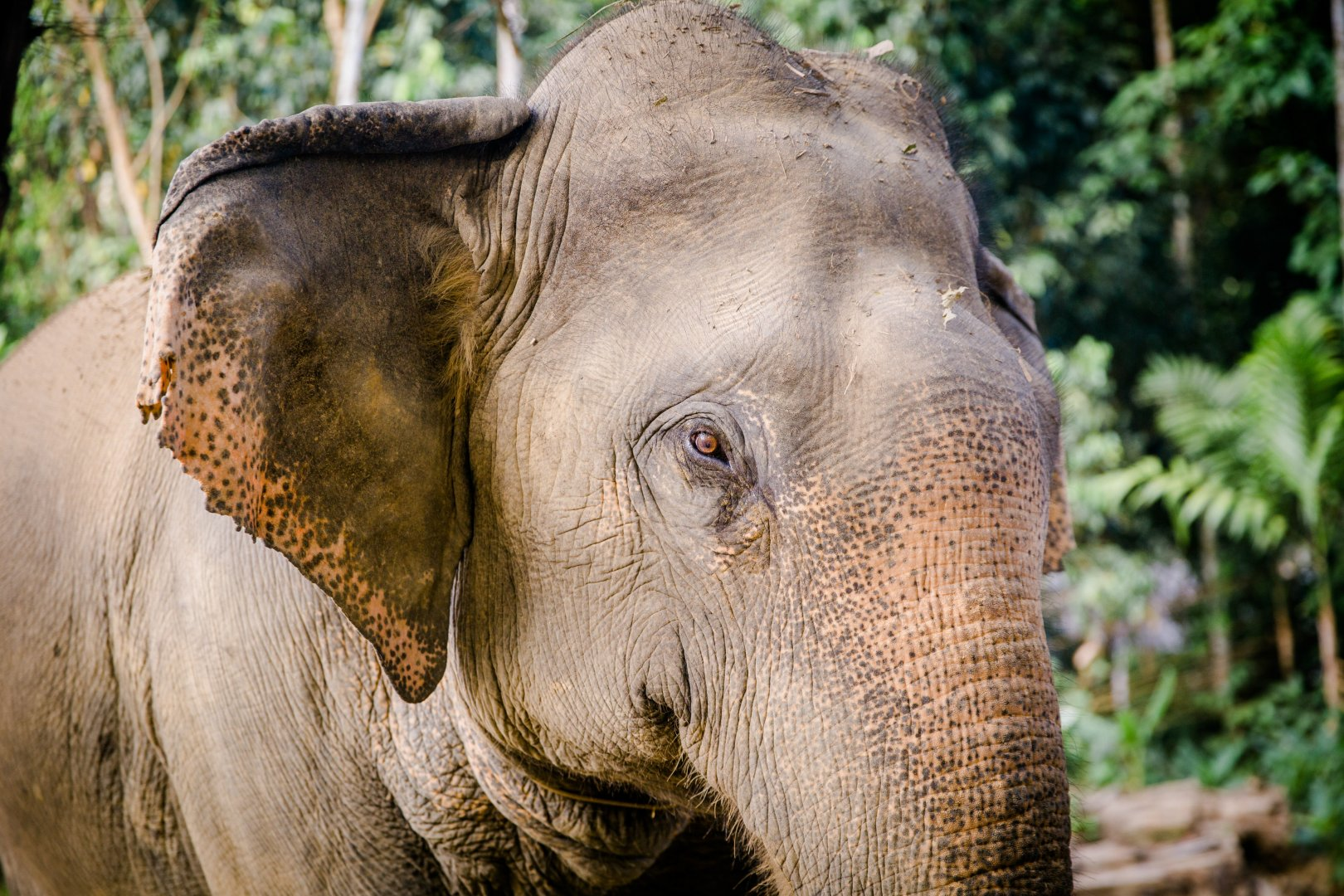 Elephants and Mammoths Terrestrial animal Vertebrate Indian elephant Wildlife Mammal Skin Zoo Snout Nature reserve African elephant Eye Close-up Working animal Grass Wrinkle Adaptation Organism Jungle Temple Tree Safari Photography Tusk National park Recreation Forest Plant Fawn Ear