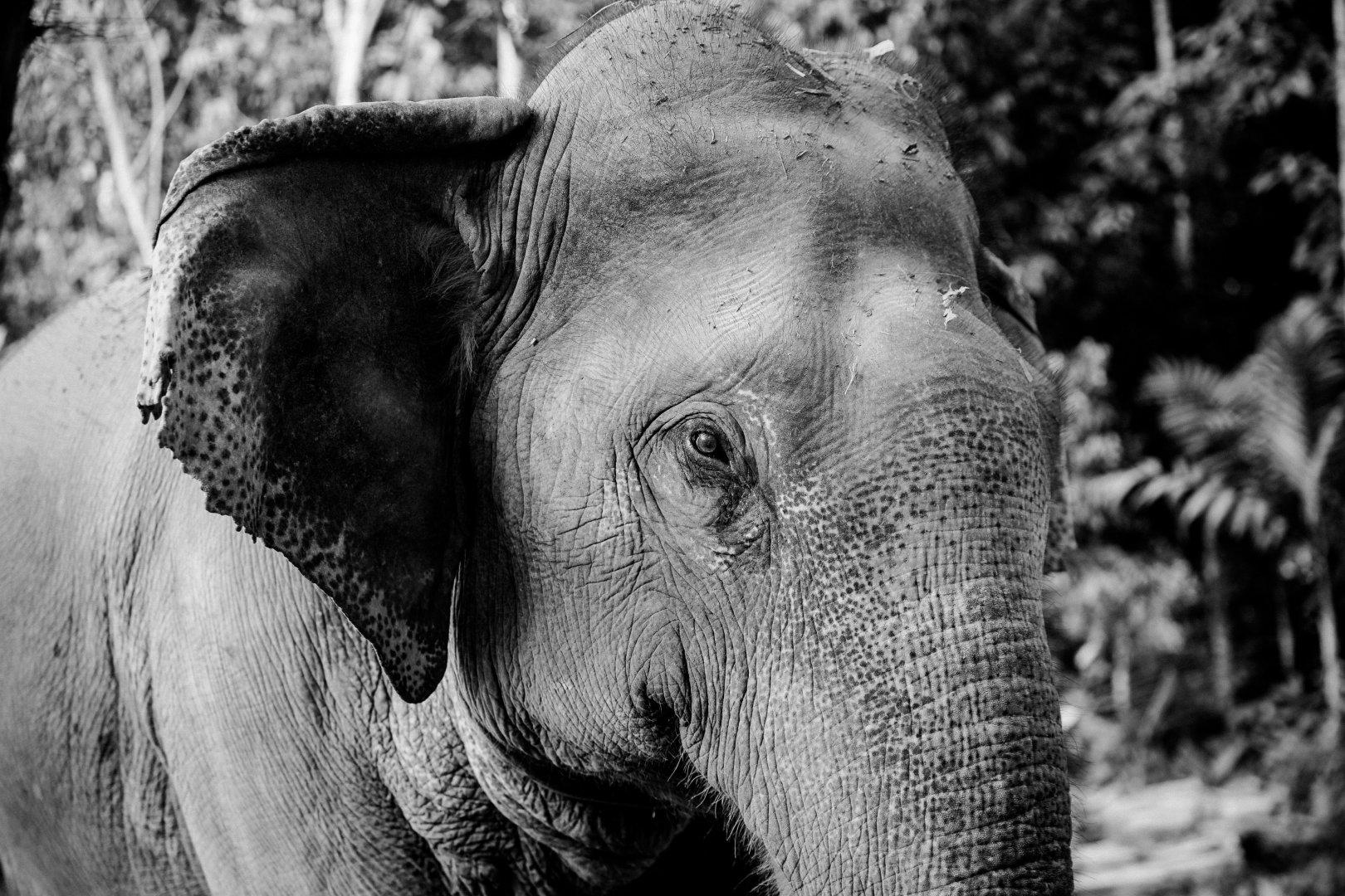 Elephants and Mammoths Indian elephant Black Terrestrial animal Wildlife Black-and-white Snout Skin Eye African elephant Head Close-up Monochrome photography Working animal Monochrome Organ Wrinkle Zoo Photography Ear Tusk Grass Tree Adaptation Stock photography Temple Safari Style