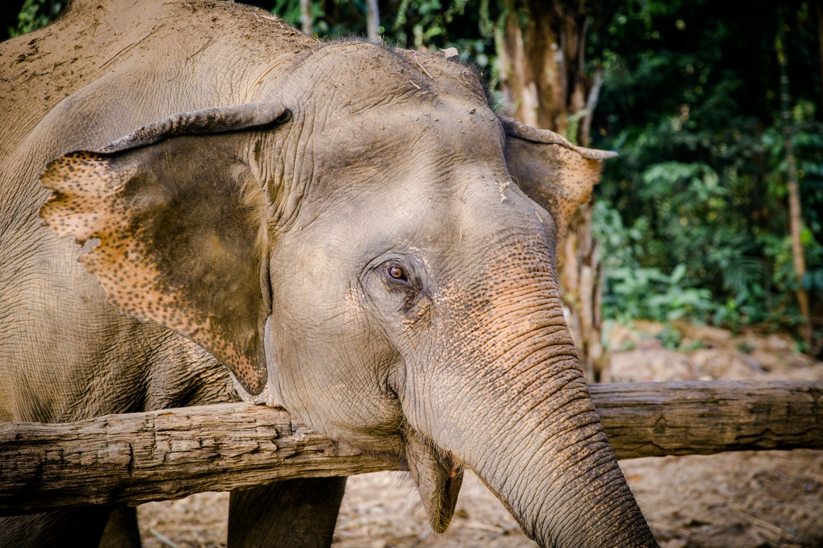 Elephants and Mammoths Mammal Terrestrial animal Vertebrate Wildlife Indian elephant Zoo Skin African elephant Nature reserve Snout Wilderness Eye Tree Organism Temple Wrinkle Working animal Grass Jungle Adaptation Tusk Trunk National park Plant Safari Recreation Fawn Forest Woodland