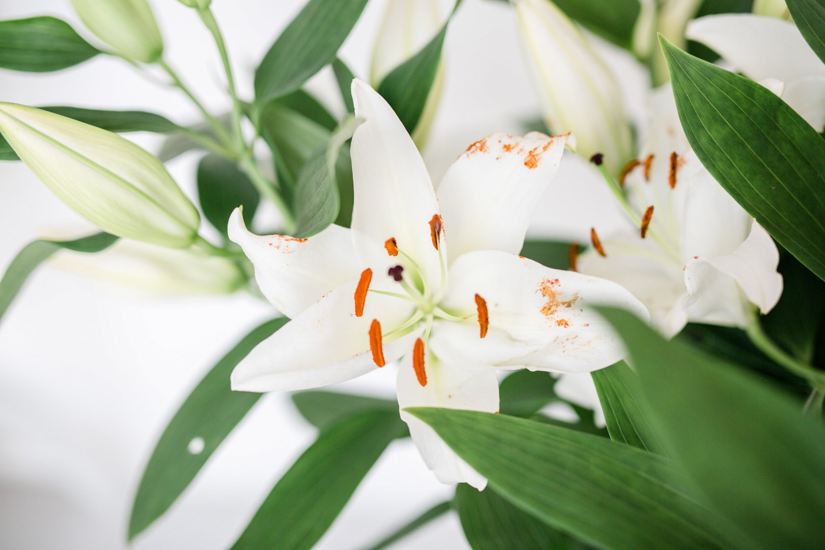 Flower Lily Flowering plant White Petal Plant Lily family Botany Terrestrial plant stargazer lily Lily order Houseplant tiger lily Hippeastrum